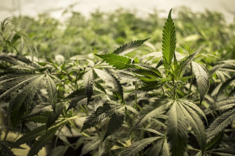 Synthetic Marijuana — Dangerous Designer Drugs